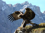 Steinadler-Beobachtung in Natura