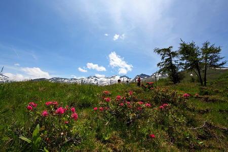 Almrosenblüte