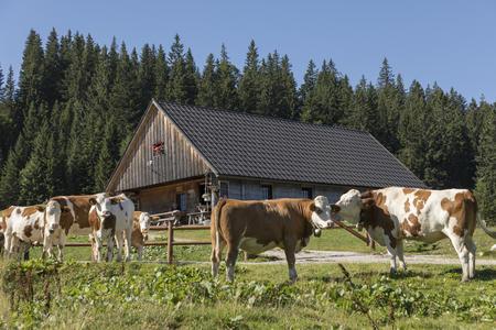 Feldwiesalm mit Kühen