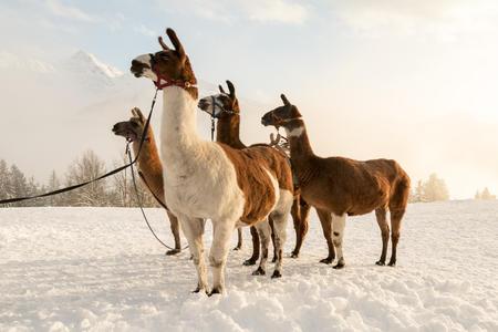 Lama-Trekking im Montafon