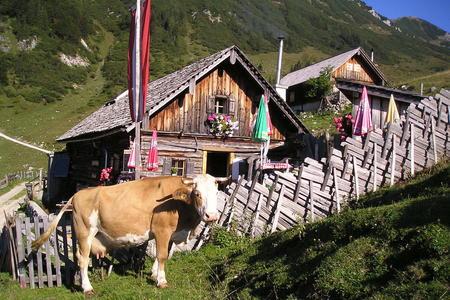 Kuh auf der Rinnbergalm vor der Animoshütte in Rußbach